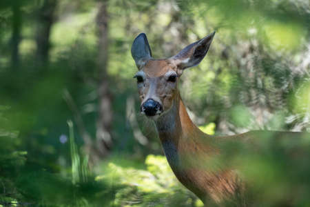 Deer looks at the camera while emerging out of a forest in Glacier National Park