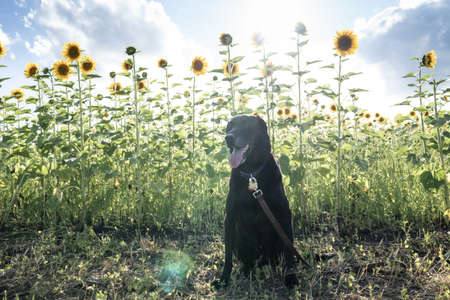 Black Labrador Retriever dog sits in a field of sunflowers. Artistic filter applied with sunflare Standard-Bild
