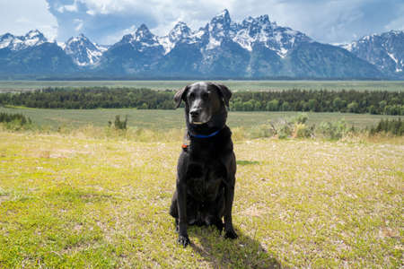 Stoic, sitting purebred Labrador Retriever dog poses in front of the Grand Teton National Park mountains
