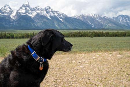 Black labrador retriever dog looks out to the mountains in Grand Teton National Park Banco de Imagens