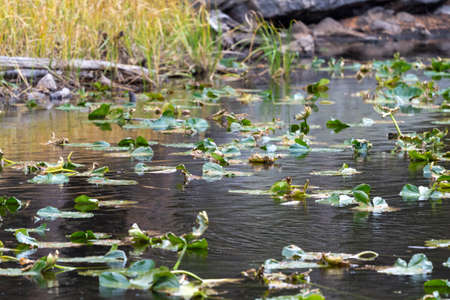 Selective focus on midground area of dying lilypads on Nymph Lake in Rocky Mountain National Park Colorado 版權商用圖片