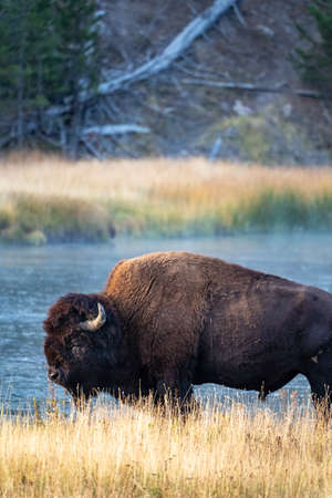 Bison near the Madison River in Yellowstone National Park in the morning sunrise 版權商用圖片