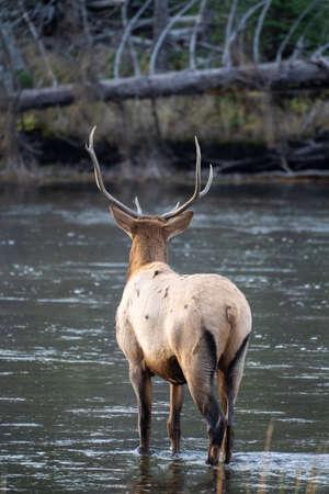 Bull elk crosses the Madison River in Yellowstone National Park 版權商用圖片