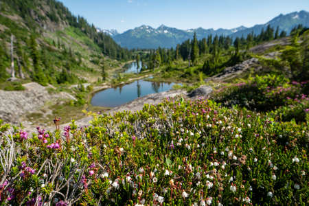 Selective focus on wildflowers at Heather Meadows area of Mt Baker wilderness in Washington State 版權商用圖片