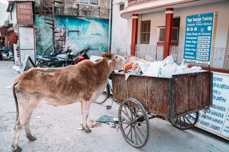 Rishikesh, India - Feburay 22, 2020: Hungry cow rummages through a trash dumpster looking for food 報道画像