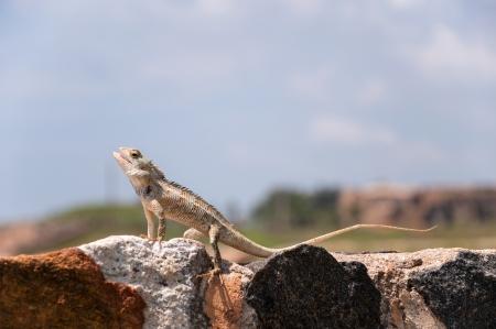 galle: Lizard on the rocks in Galle, Sri Lanka Stock Photo