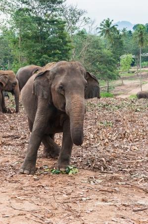 orphanage: Elephant in Pinnawela Elephant Orphanage, Sri Lanka