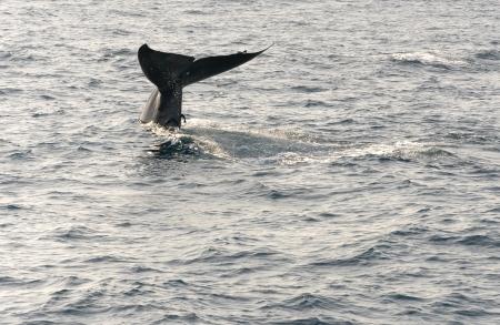 Whale tail, Indian Ocean, Sri Lanka