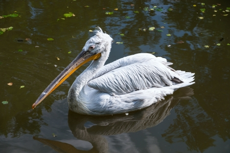 Dalmatian Pelican in zoo, Ostrava  photo