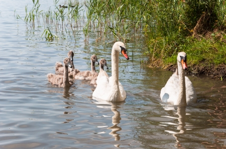 Swan family on a lake in sunlight  photo