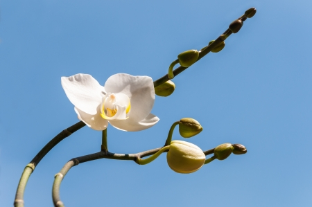 White, blooming orchid with plenty of buds  photo
