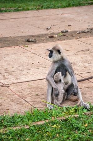 hanuman langur: Hanuman langur with young in Anuradhapura, Sri Lanka, Feeding time