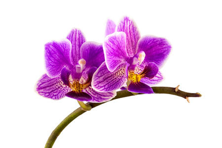 Violet streaked orchid flower isolated on white background with clipping path photo