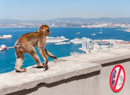 Barbary macaque monkey in Gibraltar on a wall photo