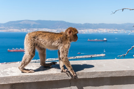 barbary: Barbary macaque monkey in Gibraltar on a wall