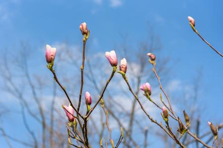 Branch of magnolia flower buds in the garden