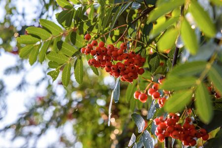 Branches with ripe berries of red mointain ash as autumn natural background 写真素材