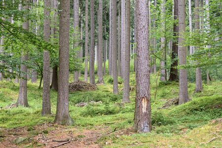 Forest in Karkonosze Mounstains in Poland as natural background Imagens
