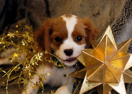 Christmas Puppy chewing on a star Stock Photo - 644453