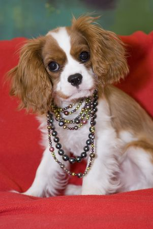Beautiful King Charles Spaniel puppy wearing pearls Stock Photo