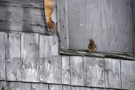 ledge: A red squirrel on the ledge of a weathered outbuilding, on the Atlantic coast. Stock Photo