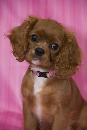 Adorable ruby Cavalier King Charles Spaniel puppy wearing a pink collar. She is only 10 weeks old. Stock Photo - 3560427