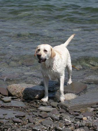 A Labrador Retriever enjoying the water and the weather. The dogs relaxed tail, is indicating a happy disposition. After-all, its play time! photo
