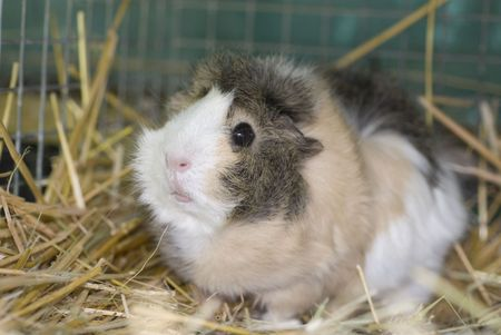 A tri colored guinea pig in a cage full of straw photo
