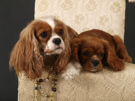 aristocratic: Stock photo of two King Charles Cavalier puppies wearing strings of pearls Stock Photo