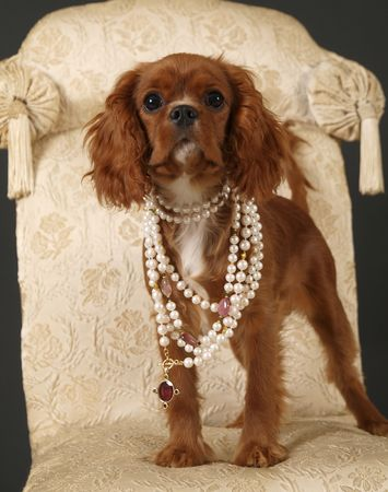 Stock photo of a King Charles Cavalier puppy wearing strings of pearls