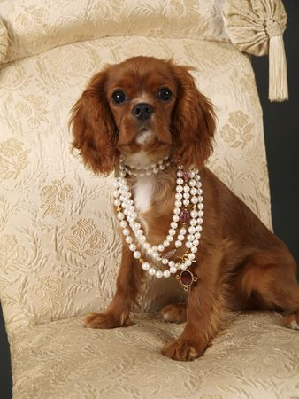 cavalier: Stock photo of a King Charles Cavalier puppy wearing strings of pearls