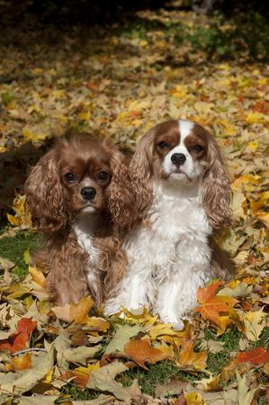 Stock photo of two Cavalier King Charles Spaniels sitting in autumn leaves Stock Photo - 5864910