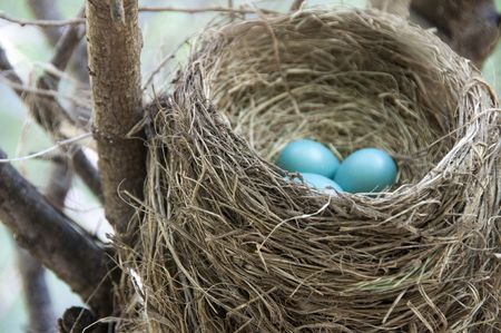 Roter breasted Robin nest