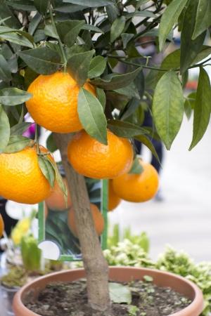 An orange or mandarin tree in a terracotta pot