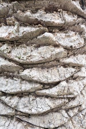 bark palm tree: Close up of the bark of a palm tree Stock Photo