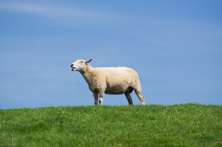 bleating: bleating sheep on green grass and blue sky