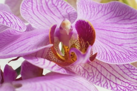 Japanese Orchid Stock Photo - 14412131