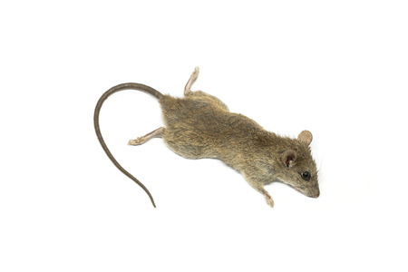 dead rat: The dead mouse on white background for rat die animal background concept Stock Photo