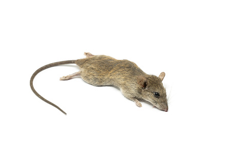 Dead mouse rat on a white background