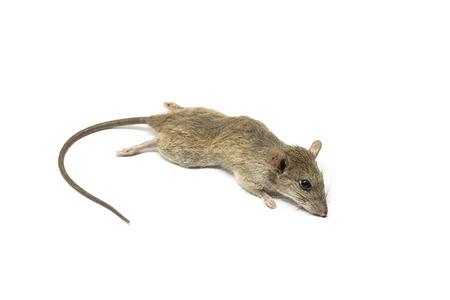 rata: Rata muerta del rat�n sobre un fondo blanco Foto de archivo