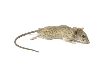 dead rat: Dead rat mouse on a white background