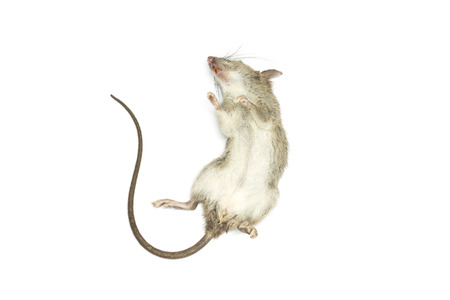 dead rat: Dead mouse with feet to the sky on white background for die animal concept Stock Photo