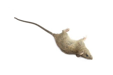 dead rat: Dead rat on a white background for animal background natural concept Stock Photo
