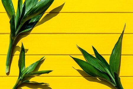 Top view Dracaena sanderiana, Liliaceae, Ribbon Plan on yellow wood background, top view. Stock Photo
