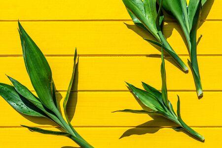 Top view Dracaena sanderiana, Liliaceae, Ribbon Plan on yellow wood background, top view. Zdjęcie Seryjne