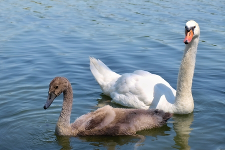 whelp: Swan with baby