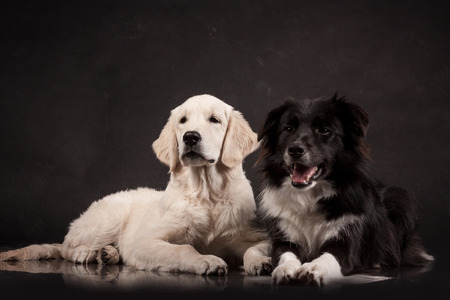 backgruond: two dogs lying on a black background in a photo studio
