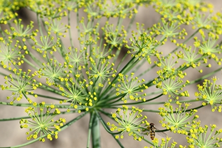 Macro of fennel in garden with stamen and green background Stock Photo - 20856956