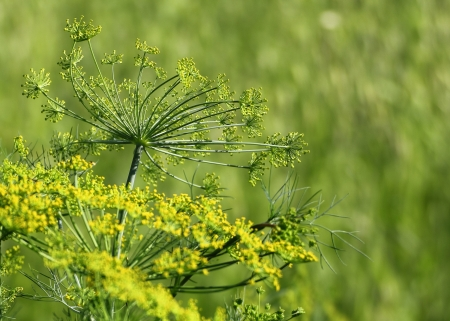 Macro of fennel in garden with stamen and green background Stock Photo