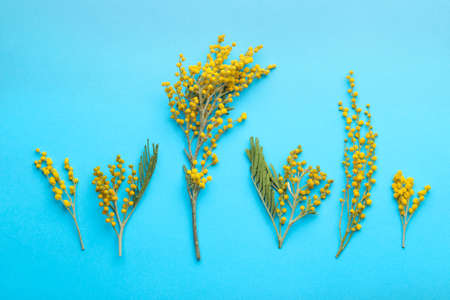 Beautiful flowers of yellow mimosa on a blue trendy paper background. top view.